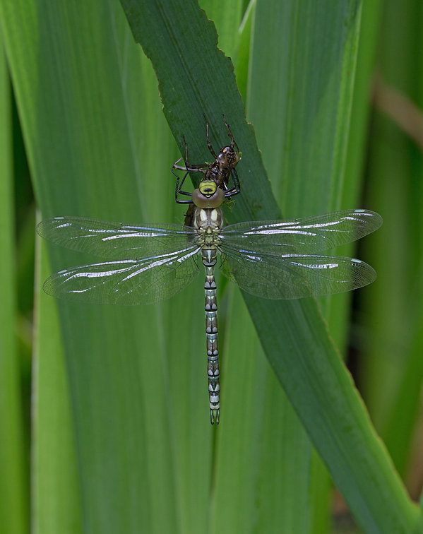B3_Newly emerged southern hawker with ex