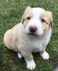 Puppy Memphis