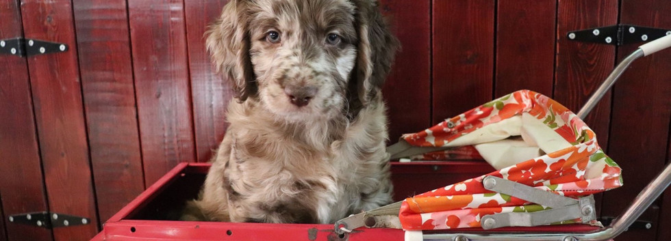 Layla & Frank F1 Standard Chocolate Merle Puppy