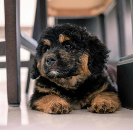 Twix & Tux Pup @ 10 weeks old