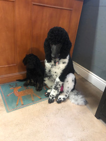Tessa hanging out with one of our F1 Standard puppies