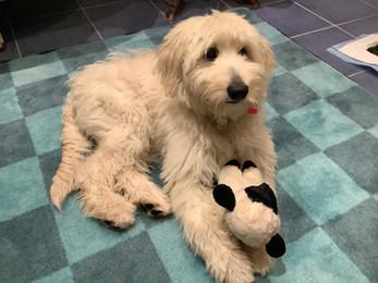 Memphis & Maisie Puppy @ 6 months