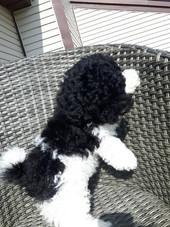 Puppy Tux
