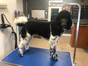 Tessa freshly groomed