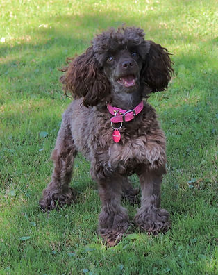 toy chocolate poodle