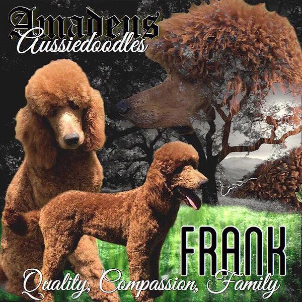 Amadeus Aussiedoodles Frank Poodle