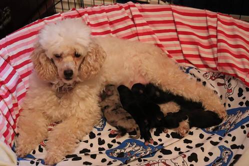 Izzy nursing her puppies