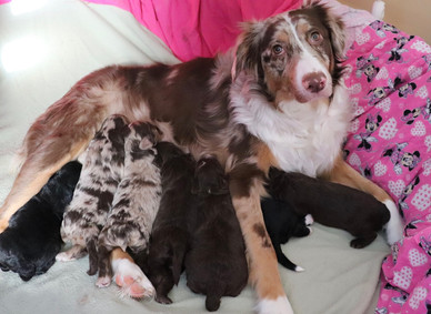 Phoebe with her puppies January 2020