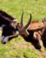 goats-2189621_1280.jpg
