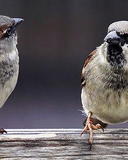 sparrows-2759978_1280.jpg