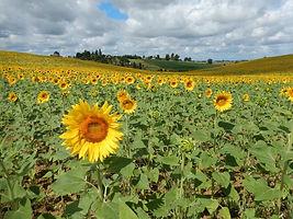 Domaine La Barbe, zicht op zonnebloemen