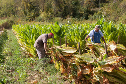 Robert Wilson & Gene Garrison harvesting tobacco (9-11)