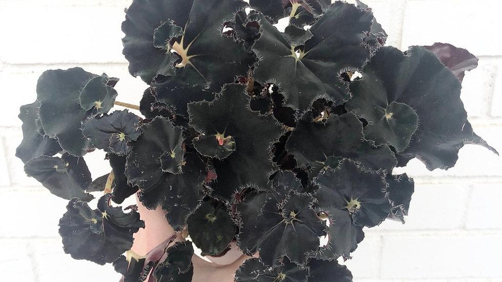 Begonia Black Mamba