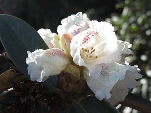White sunlit flower.JPG