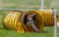 Competition dog agility