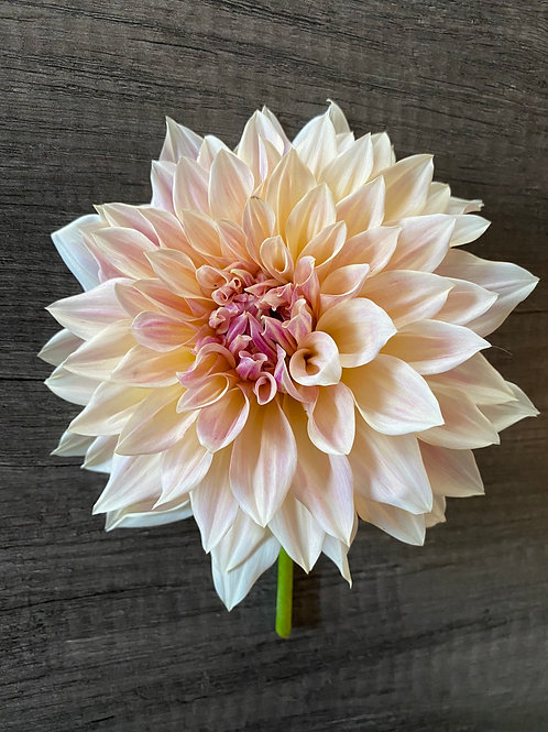 3-week Dahlia Bouquet Subscription