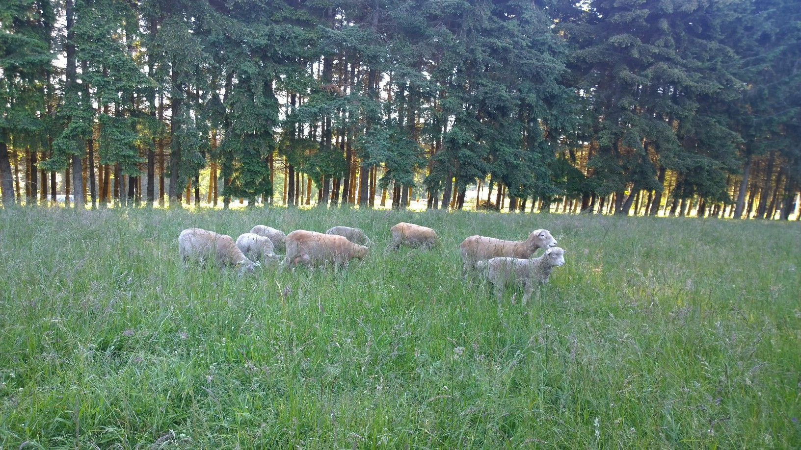 Dorset lambs grazing on the upper pasture.