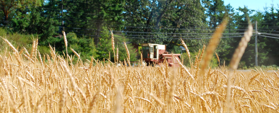 Cereal crops grown on the farm include hard red spring wheat for local bakeries.