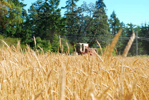 The grain fields of Metchosin turn a glorious yellow when the grain crops ripen.