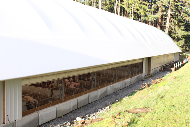 Roll-up sides on our new 14,000 square foot barn mean the pigs enjoy sunshine and a cool breeze even when inside.
