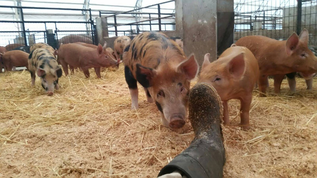 Pigs of all sizes are curious. Pictured here are purebred Tamworths (solid red) and a Berkshire/Tamworth crossbreed called a Plum Pudding.