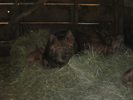 A Tamworth sow with piglets four-weeks old.