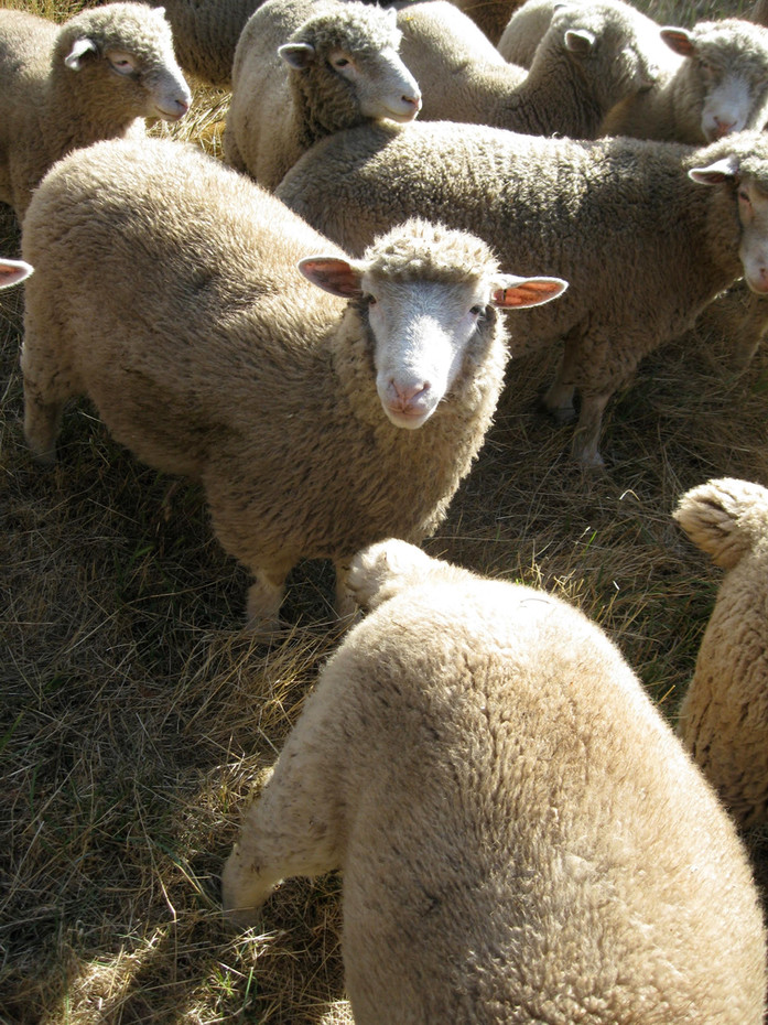 Market and replacement lambs