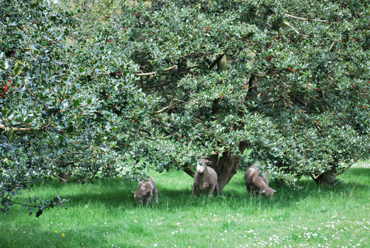 We have a commercial holly orchard on the farm and during the summer months we task the sheep to keep the grass down in between the trees. The sheep aren't always that keen on this task – holly leaves are prickly.