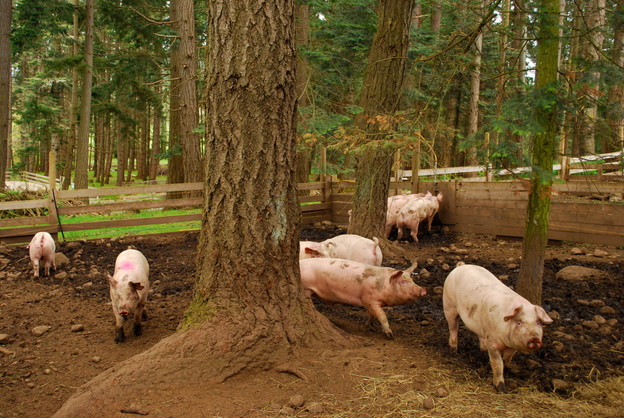 Mud, earth, fresh air and trees to rub against. Pig heaven!