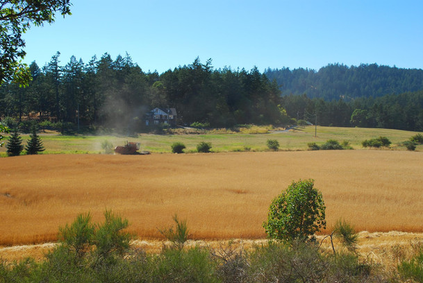 Combining wheat for local bakeries.