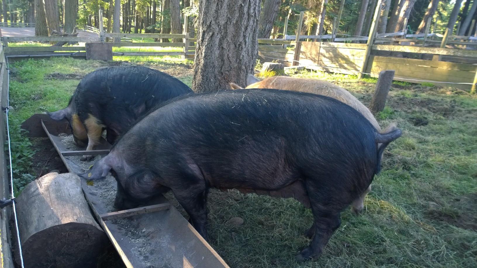 Gestating sows in their summer pens.