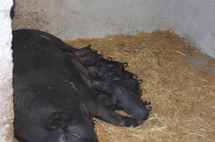 Sicilian black pig