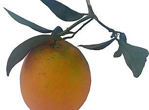 Arancia Navelina