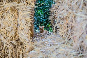 Un gattino in mezzo alle balle di paglia con l'albero di arancio sullo sfondo. Natura, flra e fauna aziendale