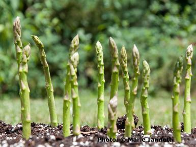 Asparagus-Spears.jpg