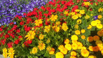 The town council plants bright flowerbeds, with different displays each year.