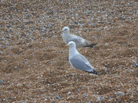 Seagulls (herring gulls, to be precise) are everywhere in St Leonards. They are noisy, greedy, persistent creatuers. I've written a story about them.
