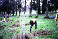 Planting lime trees in Pathfields 2
