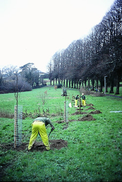 Planting lime trees in Pathfields 1