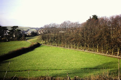 Pathfields before new lime tree planting