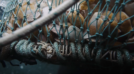 Swimming scallops caught in the net of a butterfy trawl