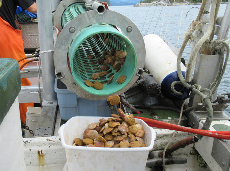 Legal sized scallops exit the sorter