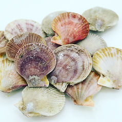 Frozen pink and spiny scallops caught by West Coast Wild Scallops