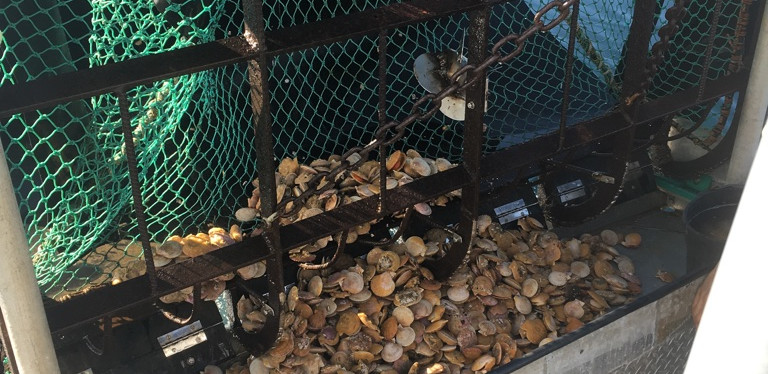 Trawl full of scallops
