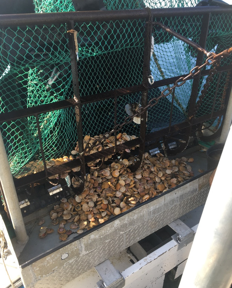 Trawl full of scallops
