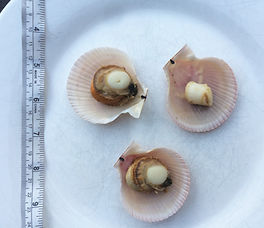 Swimming scallops beside ruler fo size comparison - average diameter of shell is 2.5 in. an aveage meat size is 1 in.