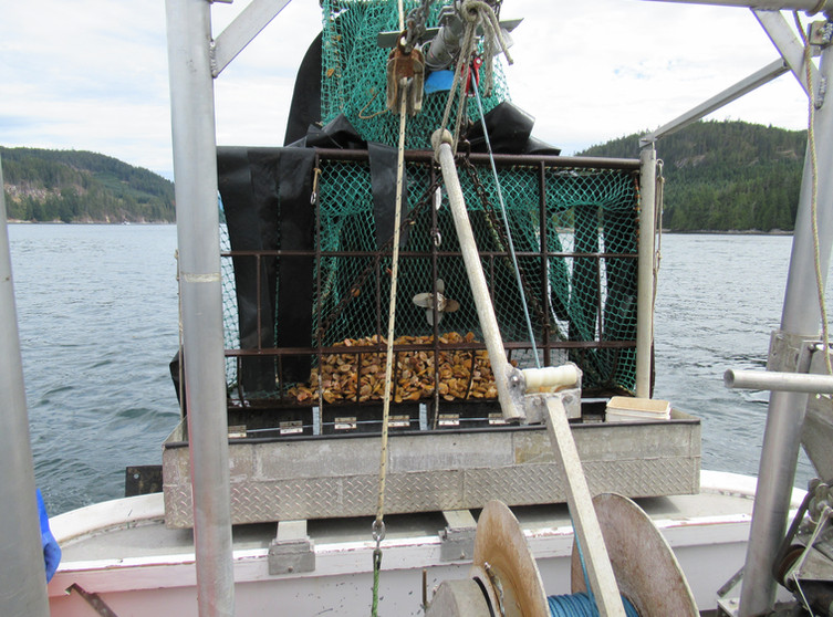 Butterfly trawl with scallops