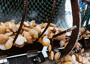 Sponge covered wild swimming scallops in a butterfly trawl