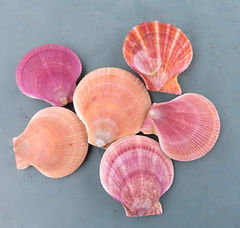 Colourful wild scallops
