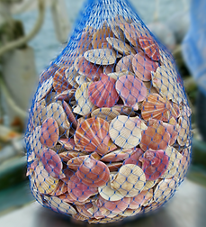 20 lbs mesh bag of wild scallops